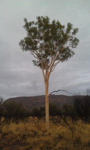 A beautiful ghost gum just off the track from the Cassia Hill walk