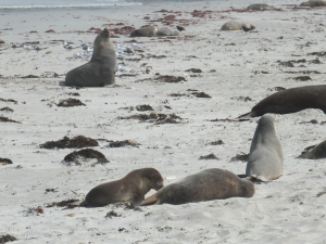KI Sea Lions up close, with a bull in the background and a mum and pup in the fore ground.