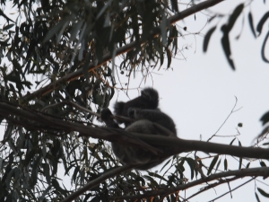 Koala in the tree at the cafe.