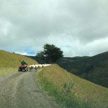 Sheep on the road. Possibly the most kiwi experience we had.